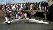 tiburón ballena capturado en Karachi, Pakistán es sacado del agua