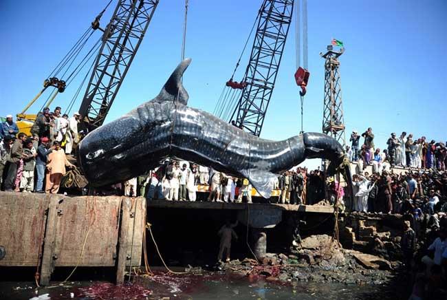 tiburón ballena capturado en Karachi, Pakistán