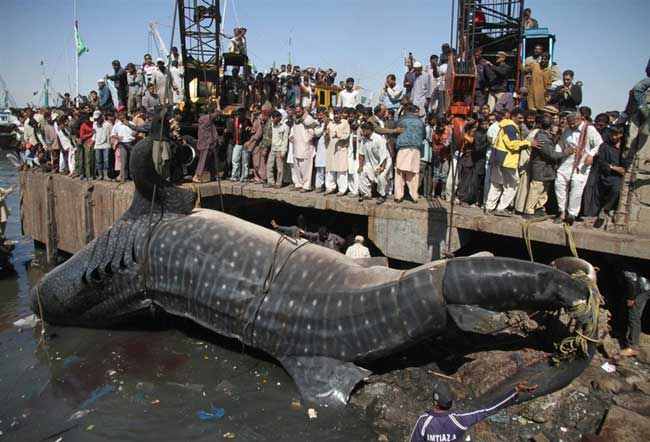 tiburón ballena pescado en el Mar Arábigo