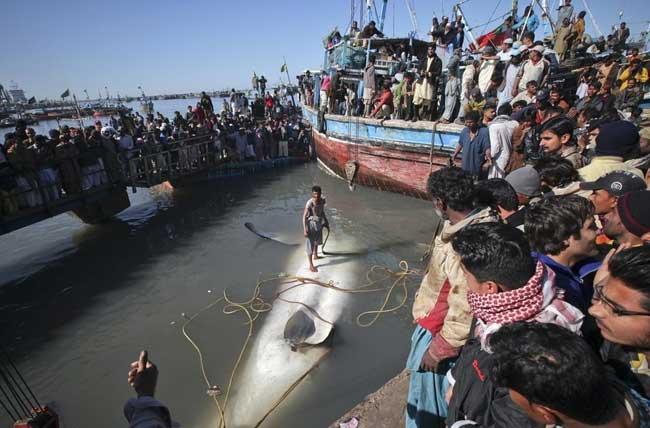 tiburón ballena en el puerto de Karachi, Pakistán