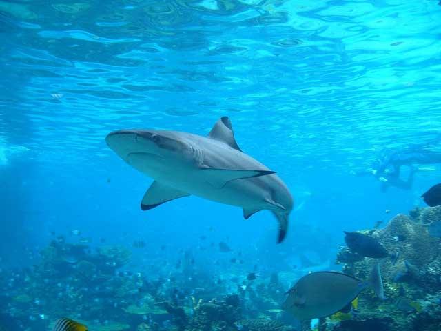 tiburón punta negra (Carcharhinus melanopterus)