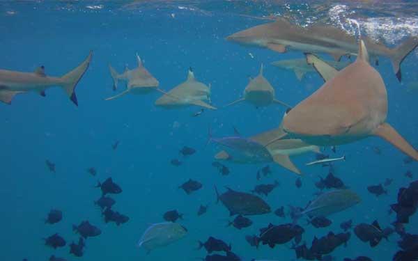 tiburones de punta negra en Bora Bora