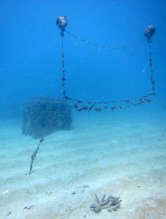 línea de vivero coral cuerno de ciervo