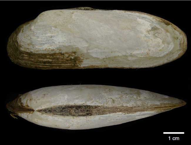 almeja Vesicomyidae