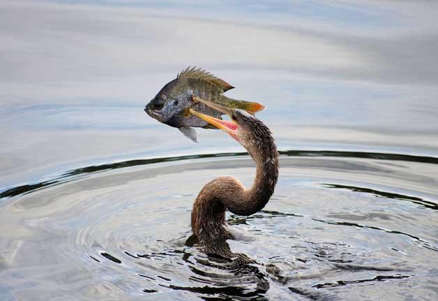 anhinga pescando