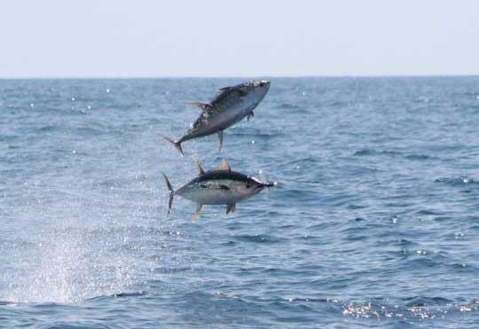 Atún de aleta amarilla (Thunnus albacares)