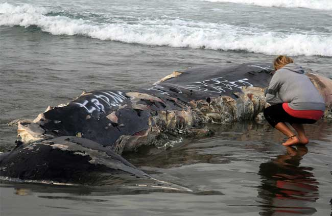 ballena mordida por tiburones