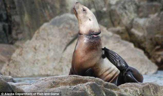 banda de plástico en el cuello de una foca