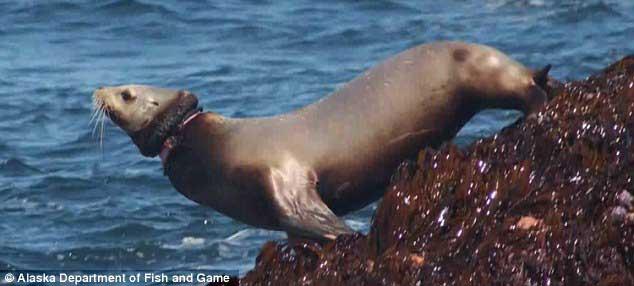 banda plástico en el cuello de un león marino
