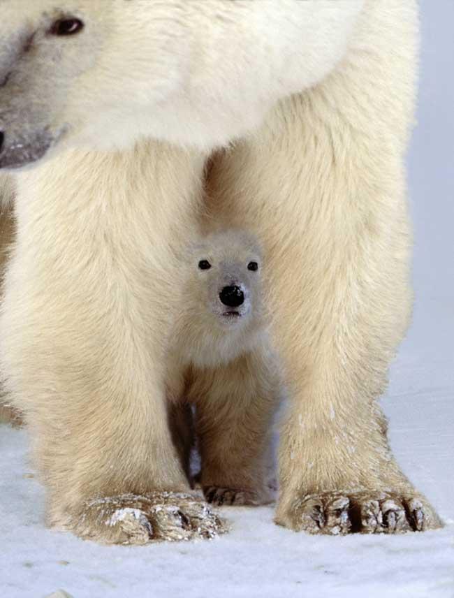 cachorro de oso polar bajo su madre