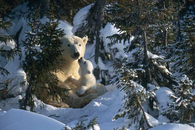 cachorro de oso polar con su madre