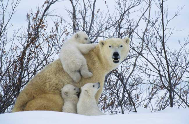 cachorros de oso polar juegan con la madre