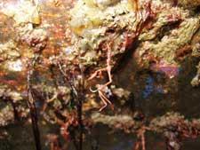Caprella mutica en el casco de un yate