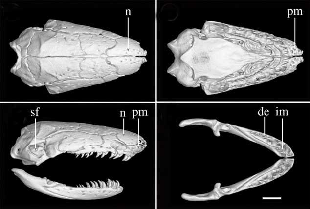 Chikila fulleri, cráneo visto con rayos-x de alta resolución