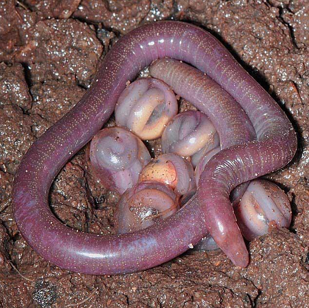 cecilia Chikila fulleri