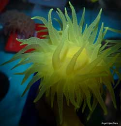 coral Dendrophyllia cornigera