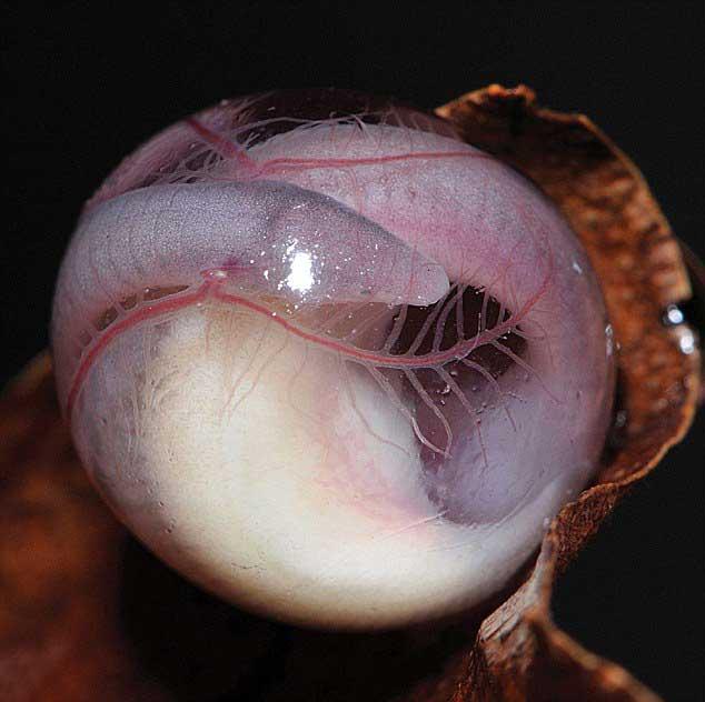 detalle de un huevo de Chikila fulleri