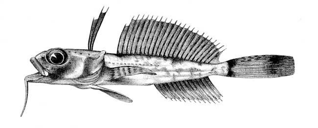 Dolloidraco longedorsalis