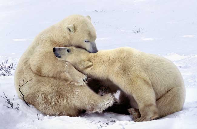 dos osos polares juegan