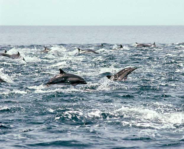 estampida de delfines