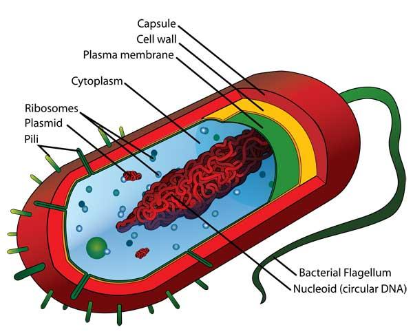 estructura de una bacteria procariota