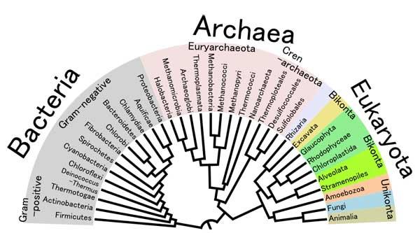 filo genético de las procariotas