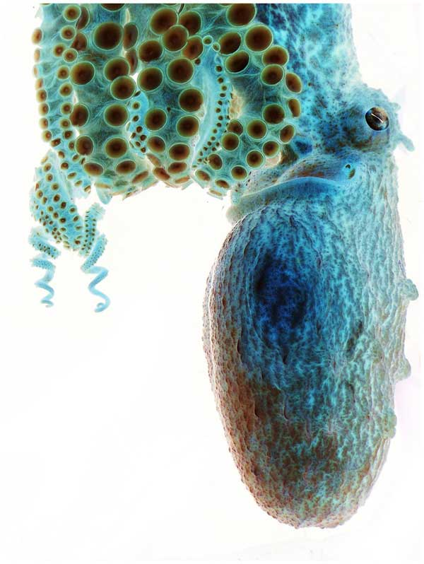 imagen negativa de un pulpo