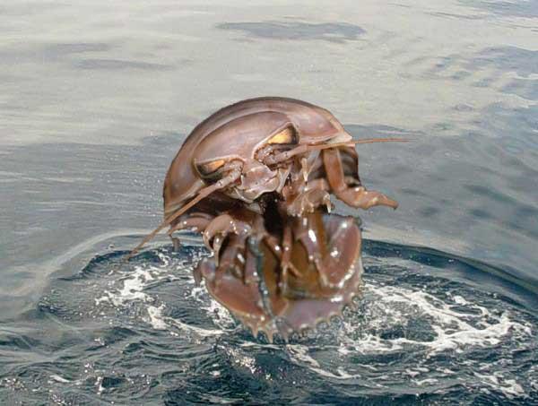 isópodo gigante (Bathynomus giganteus)