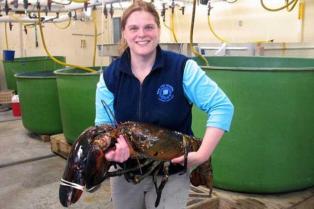 langosta gigante Rocky capturada en Maine