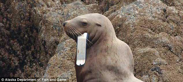 león marino con señuelo de pesca en la boca