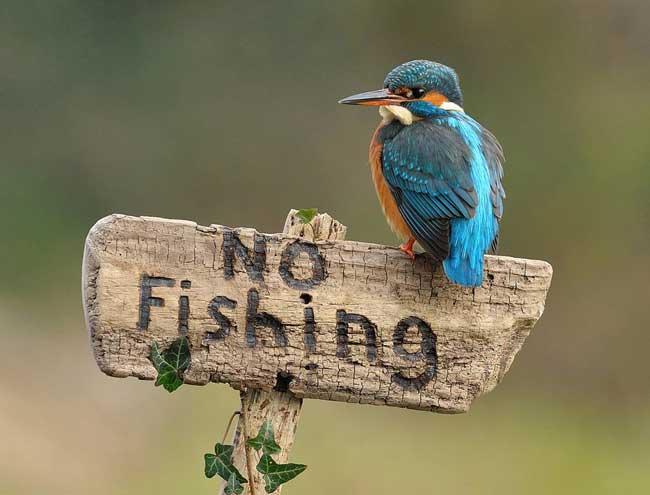 martín pescador posado en cartel de prohibido pescar