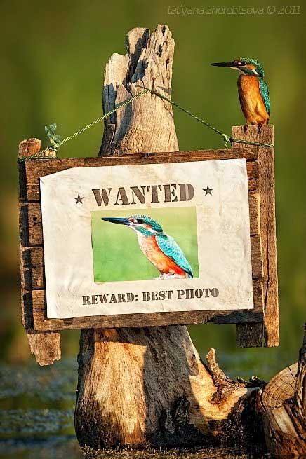 martín pescador posado en cartel de 'Se busca'