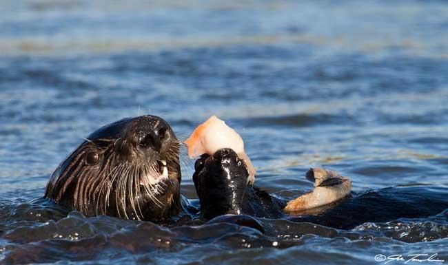 nutria marina del sur comiendo