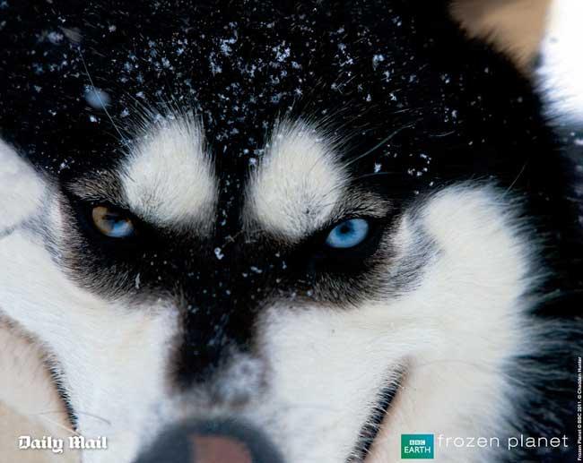 ojos de un lobo del Ártico