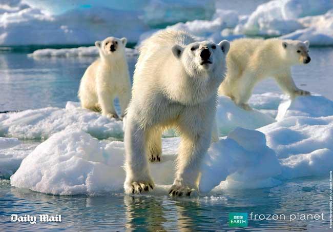 osa polar y dos cachorros