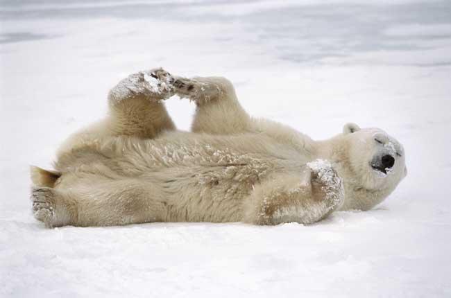 osa polar en la nieve