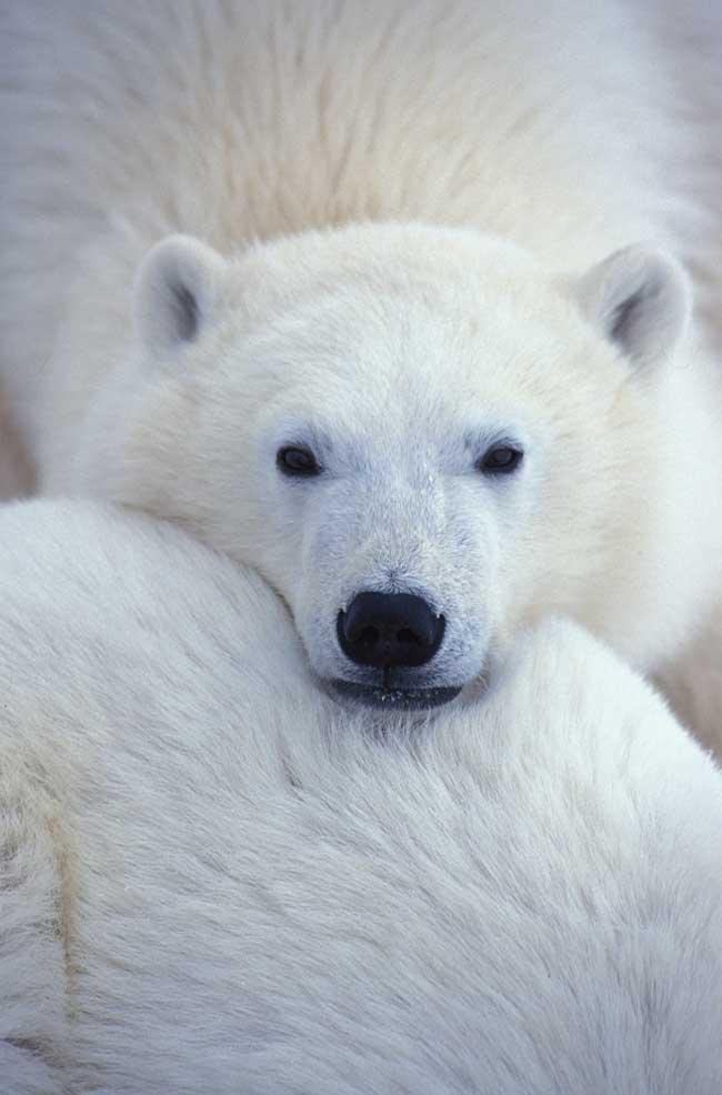 primer plano de una osa polar