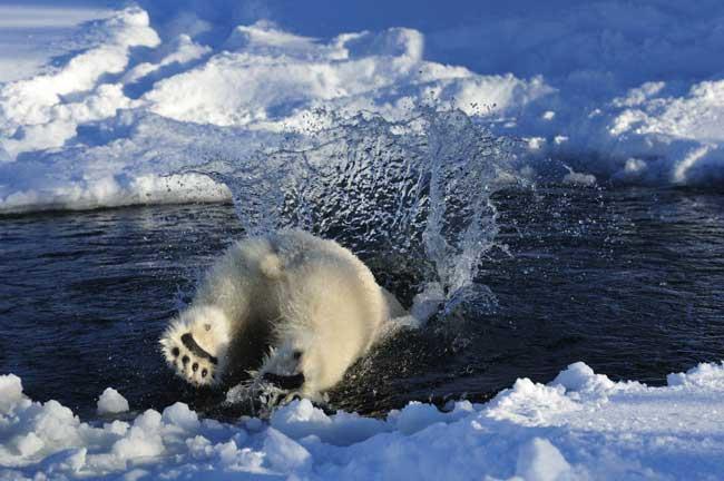oso polar se lanza de cabeza al agua