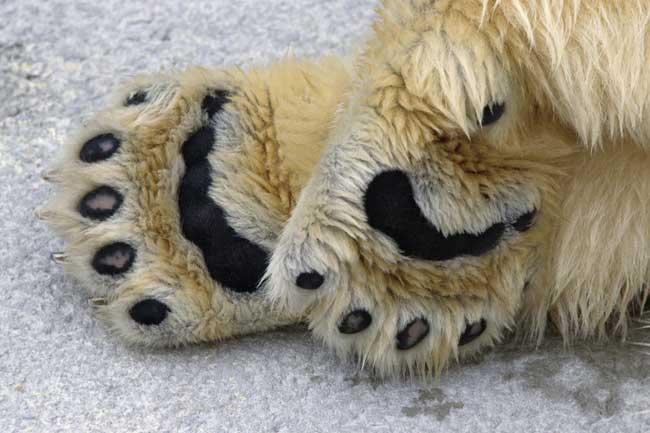 primer plano de las patas de un oso polar