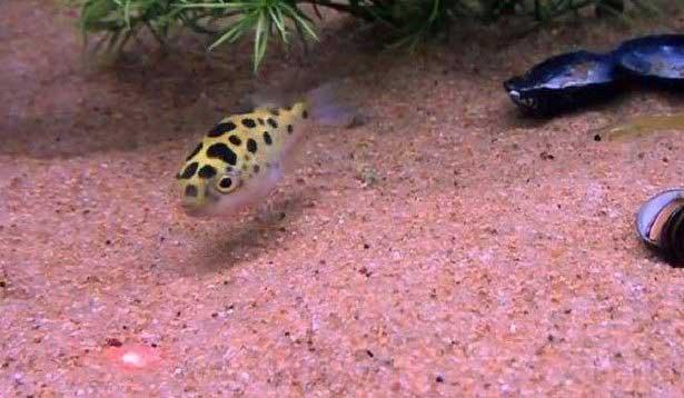 pez globo persigue luz laser