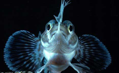 pez de hielo antártico