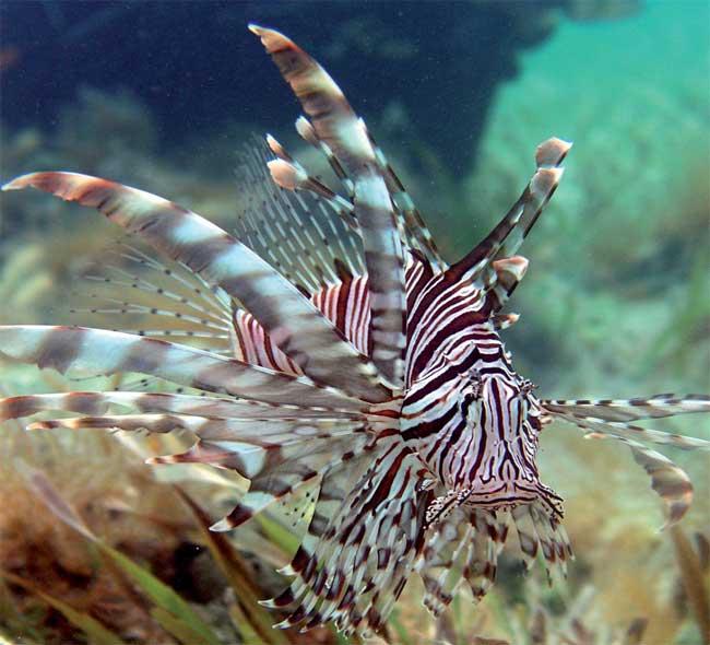pez león del Pacífico (Pterois volitans)