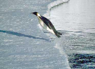Pingüino emperador o rey (Aptenodytes sp.)