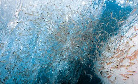 plancton de camarones