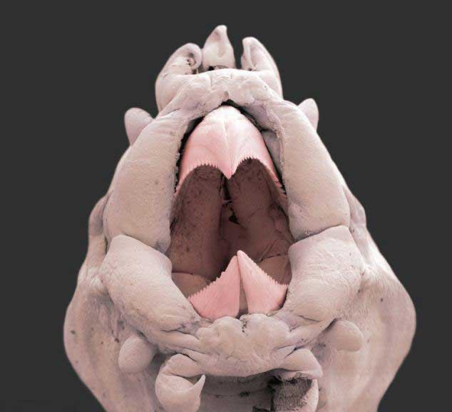 poliqueto o gusano escamoso, boca