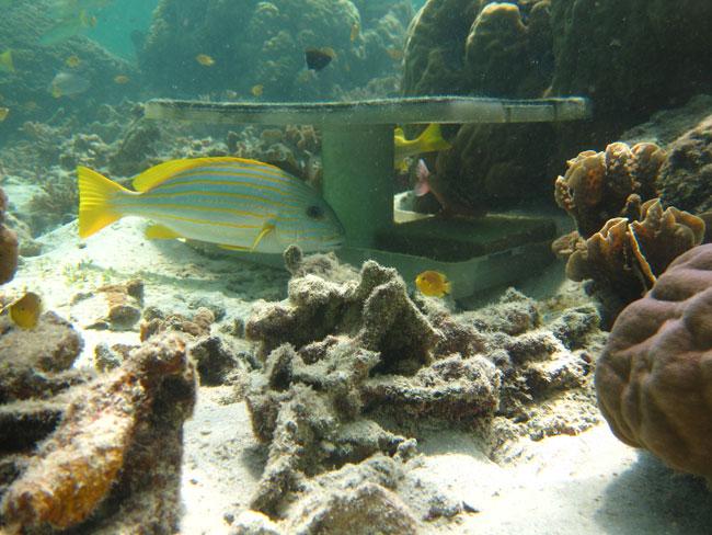 un pez sweetlip bajo un refugio artificial