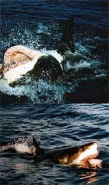 tiburones alimentándose de atún