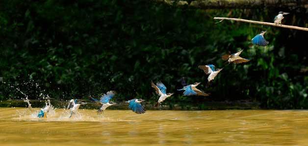 trayectoria de vuelo de un martín pescador