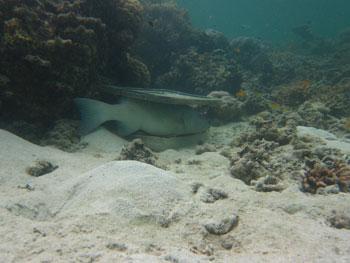 trucha del coral bajo un arrecife artificial