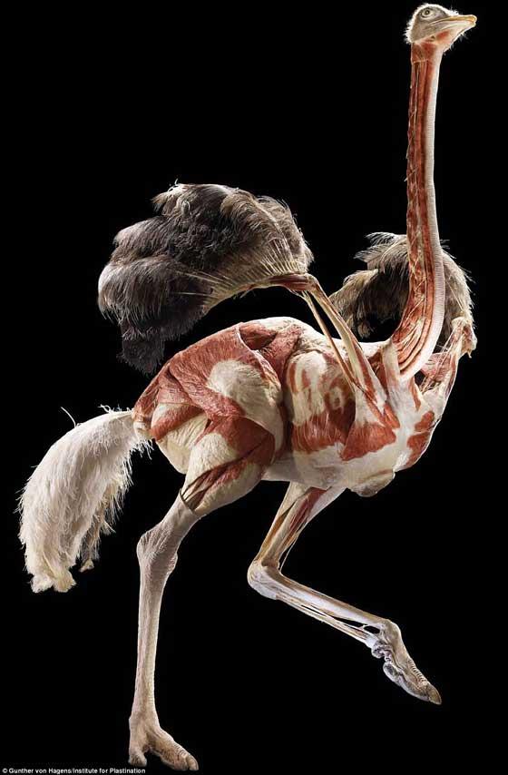 avestruz plastinada